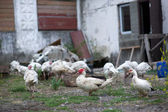 Duck on a farm — Stockfoto