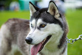 Siberian Husky dog — Stock Photo