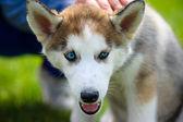 Cute puppy Siberian Husky — Zdjęcie stockowe