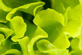 Background of green salad — Stock Photo