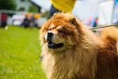 Happy dog on green grass — Stockfoto