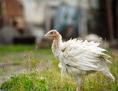 Turkeys — ストック写真