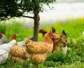 チキン — ストック写真