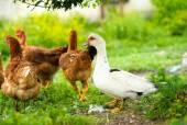 鸭和鸡 — 图库照片