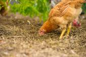 Young chicken bird — Foto Stock