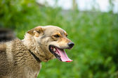 Porträt von erwachsenen Hund — Stockfoto