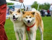 Akita Inu dogs — Stock Photo