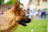 German Shepherd dog — Foto Stock