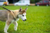 Cute puppy Siberian Husky — Stock Photo