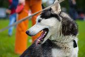 сибирская хриплая собака — Стоковое фото