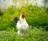 Young chicken bird — Stock Photo