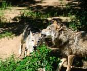 Gray wild Wolfs — Stockfoto