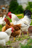 Young chicken birds — Stock Photo