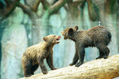 Cute Bear Cubs — Stock Photo