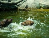 Bear Cubs playing in water — Stock Photo