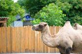 Arabian wild camel — Stock Photo