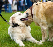 Funny playful dogs — Stock Photo
