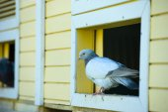 Beautiful Curious pigeon — Стоковое фото