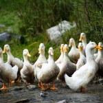 White ducks on water — Stock Photo #53001077