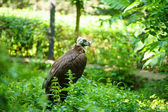 Black vulture bird — Stock Photo