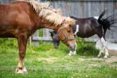 Bello cavallo presso azienda agricola. — Foto Stock