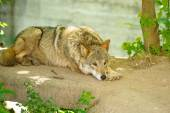 Gray wild Wolf — Stock Photo
