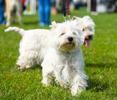 Funny dogs on meadow — Stock Photo