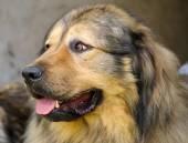Kavkazský pastevecký pes — Stock fotografie