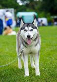 シベリアン ハスキー犬 — ストック写真