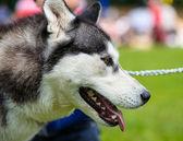 Siberian Husky dog — Zdjęcie stockowe