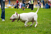 Bull Terrier Dog — Stock Photo