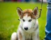 Şirin köpek yavrusu Sibirya Husky — Stok fotoğraf