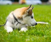 Cute puppy Siberian Husky — Stock Photo