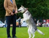 Siberian Husky dog — 图库照片