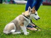 милый хриплый сибиряк щенка — Стоковое фото