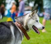 Siberische husky hond — Stockfoto