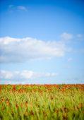 Mooie heldere rode papaver bloemen — Stockfoto