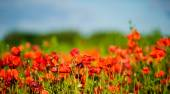 Beautiful bright red poppy flowers — Stock Photo