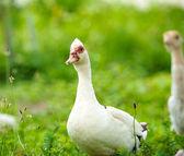 Kaczka na farmie — Zdjęcie stockowe