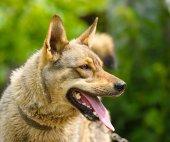 Portrait of adult Dog — Stock Photo