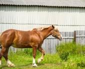 Beautiful Horse at farm. — ストック写真