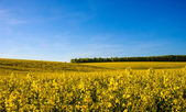 Field of yellow rapeseed — Stock Photo