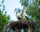 Two white storks — Fotografia Stock