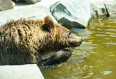 Brown bear sitting in the water — Stock Photo