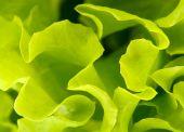 Green salad in a garden — Stockfoto