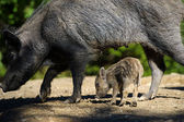 Wild boars in forest — Stock Photo