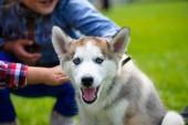 Cute puppy Siberian Husky — Foto de Stock
