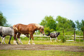 Galloping Funny horses — Stock Photo
