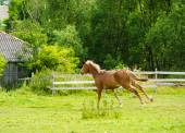 Galloping Funny horse — Photo