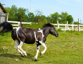 Galloping Funny horse — Stock Photo